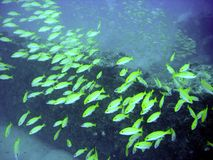 Blue banded snappers Royalty Free Stock Images