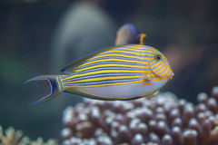 Blue banded surgeonfish Acanthurus lineatus. Also known as the zebra surgeonfish Royalty Free Stock Image