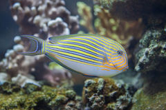 Blue banded surgeonfish Acanthurus lineatus. Also known as the zebra surgeonfish Stock Images