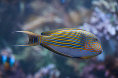 Blue banded surgeonfish (Acanthurus lineatus). Blue banded surgeonfish (Acanthurus lineatus), also known as the zebra surgeonfish. Wild life animal Stock Image