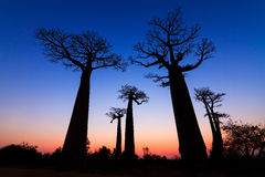 Blue Baobabs sunset Royalty Free Stock Photography