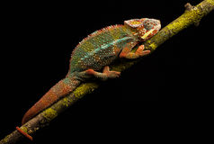 Blue bar panther chameleon Royalty Free Stock Images