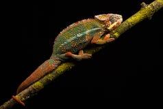 Blue bar panther chameleon Royalty Free Stock Images