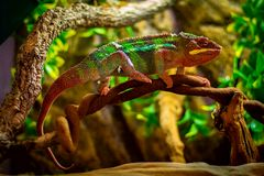 Blue Bar Panther Chameleon Royalty Free Stock Photos