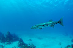 Blue barracuda. A great barracuda hangs motionless in midwater, above patchy coral reef and sand royalty free stock image