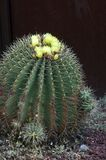 Blue Barrel Cactus with yellow flowers royalty free stock photography