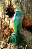 Blue Bearded Bee Eater Stock Photo