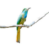 Blue-bearded Bee-eater bird Royalty Free Stock Photography