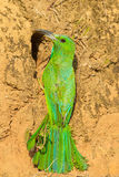 Blue-bearded Bee-eater Royalty Free Stock Images