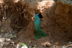 Blue-bearded Bee-eater on ground in nature Royalty Free Stock Images