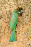 Blue-bearded Bee-eater Stock Images