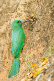 Blue-bearded Bee-eater Stock Photos
