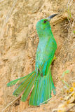 Blue-bearded Bee-eater Stock Photography
