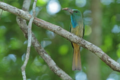 Blue-bearded Bee-eater with prey Stock Photo