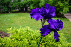Blue Bearded Iris Kissed by Raindrops Royalty Free Stock Photos