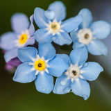 Blue Beauties. A small collection of blue forget me not flowers stock image