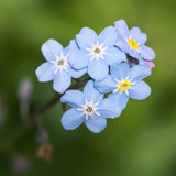 Blue Beauties. A macro shot of a small collection of forget me not blooms stock images