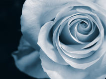Blue and beautiful. A duo-tone blue rose macro Royalty Free Stock Photos