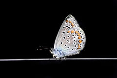 Blue beautiful butterfly on a black  background Royalty Free Stock Image