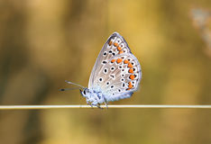 Blue beautiful butterfly sitting on a blade of grass on sunshine background Stock Image