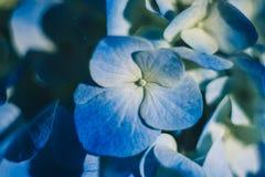 Blue beautiful flowers close-up. Hydrangea macro. Blue beautiful flowers close up. Hydrangea macro royalty free stock photos