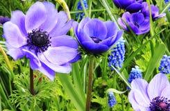 Blue Beauty of Holland Stock Photo