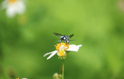 Blue bee on flower Stock Photos