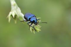 Blue beetle. Setting on the leaf Stock Image