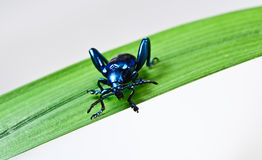 Blue Beetle Stock Images