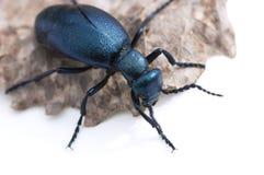 Blue beetle Stock Image