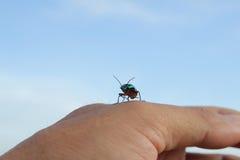Blue beetle Royalty Free Stock Photo