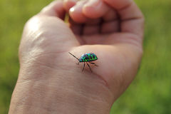 Blue beetle Royalty Free Stock Image