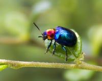 Blue beetle. Blue beetle, macro photography and nature stock image