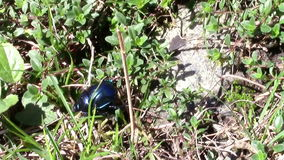 Blue beetle walking through grass stock video