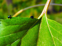 Blue beetles Stock Photo