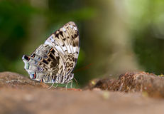 Blue begum butterfly. On nature background Stock Image