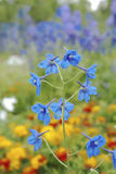 Blue bell flower Royalty Free Stock Photography