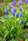 Blue bell flower Stock Images
