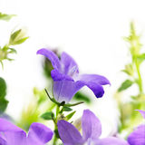 Blue bell flower campanula, the bloom as a macro shot. On a white background, copy space, selected focus, narrow depth of field Royalty Free Stock Photography