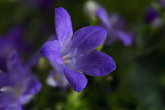 Blue bell flower campanula in the green, the bloom in spring a Royalty Free Stock Photography