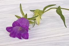 Blue bell flower Royalty Free Stock Images