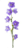 blue bell flower Royalty Free Stock Photos