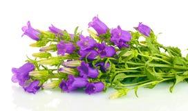 Blue bell flowers Stock Photos