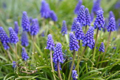 Free Blue Bell Flowers Stock Photos - 4737343