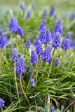 Blue bell flowers Royalty Free Stock Photography