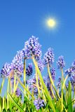 Blue bell flowers Royalty Free Stock Image