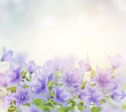 Blue Bell Flowers Stock Photography