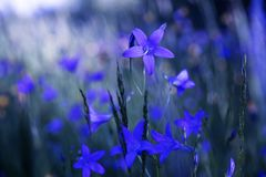 Blue bell flowers of the field. stock images