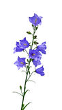 Blue bell flowers isolated Stock Photo