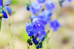 Blue bell flowers Royalty Free Stock Photo